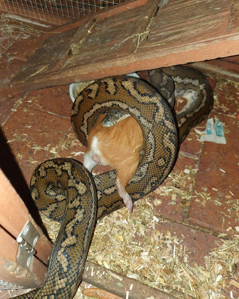 A python eating a guinea pig at Sippy Downs on the Sunshine Coast.