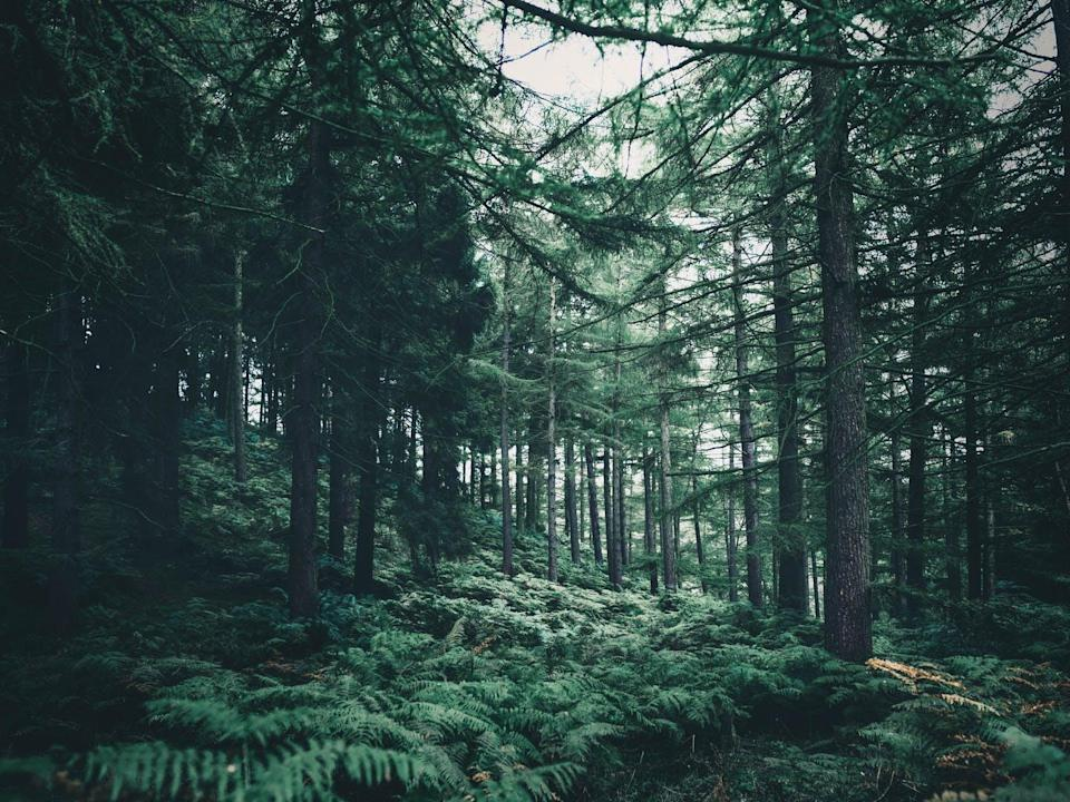 A forest with ferns and tall pine trees.