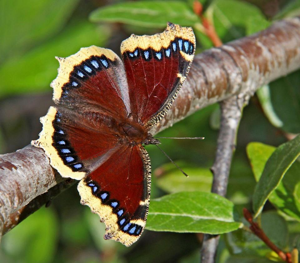 <p><strong>Mourning Cloak </strong><br><br>Montana's state insect is this distinctive butterfly known for its maroon and yellow coloring. </p>