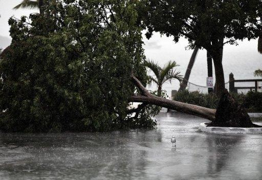 A seagull stands next to a downed tree in a marina parking lot as Tropical Storm Isaac begins to move ashore in Florida