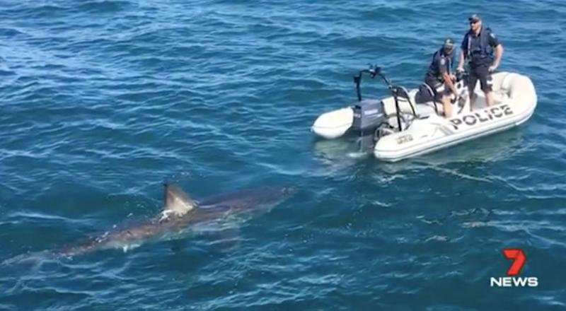 Police said the shark seemed more curious than threatening. Source: 7 News