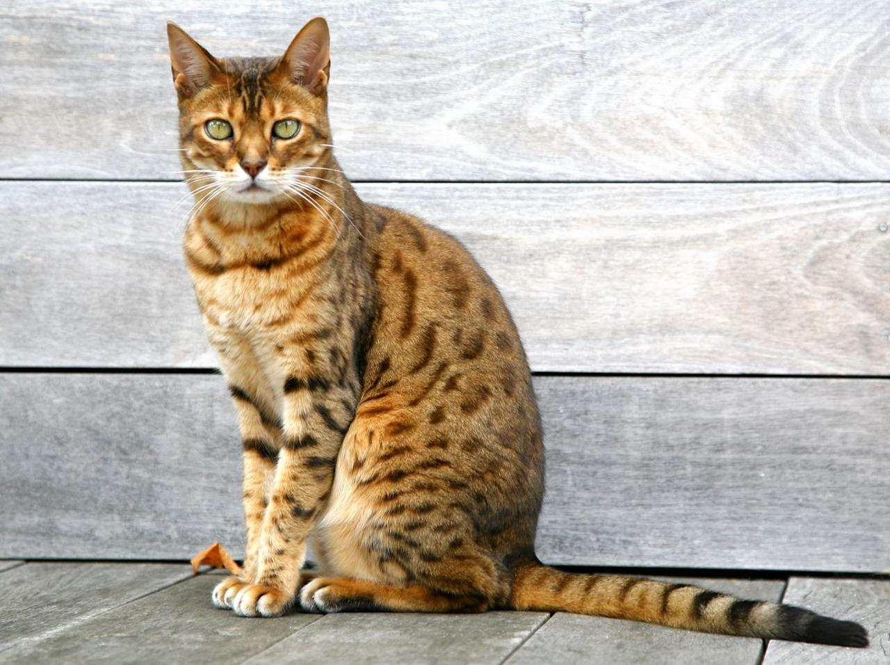 "<p>Created by <a href=""http://www.vetstreet.com/cats/bengal"" target=""_blank"">crossing a small Asian Leopard Cat with a domestic cat</a>, Vet Street notes that the Bengal has the look of a wildcat with the size and tameness of a house cat. This cat is known for its gorgeous marbled or spotted coat, which comes in many colors, as well as its tendency to be highly active and curious. If you're looking for a laid-back lap cat, the Bengal is probably not for you. </p>"