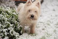 <p>The Westie is one of the most popular small terriers. They're known to be charming, alert, and active. Though they may be small, they're also surprisingly tough. But be careful because they're likely to chase after anything!<strong><br></strong><strong><br></strong><strong>Weight: 15-20 pounds</strong></p>