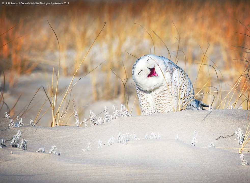 A snowy owl pulls a cute pose as he perches in the sand at Jones Beach, Long Island. (Vicki Jauron/Comedy Wildlife Photo Awards 2019)