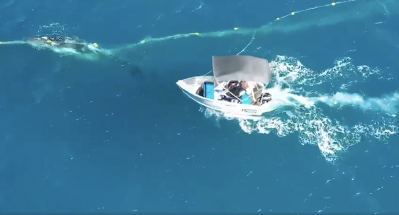 A man in a tinny pulls up to rescue a whale trapped in shark nets off Burleigh Heads.