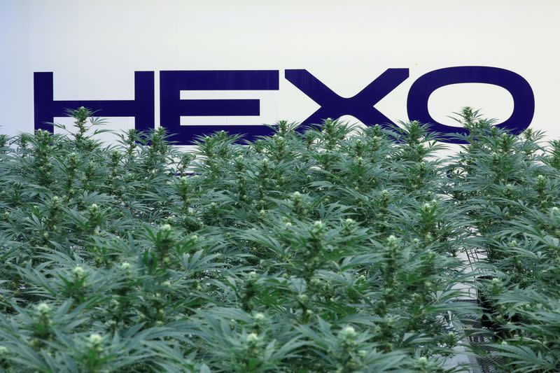 FILE PHOTO: A Hexo Corp logo is pictured behind cannabis plants at their facilities in Gatineau