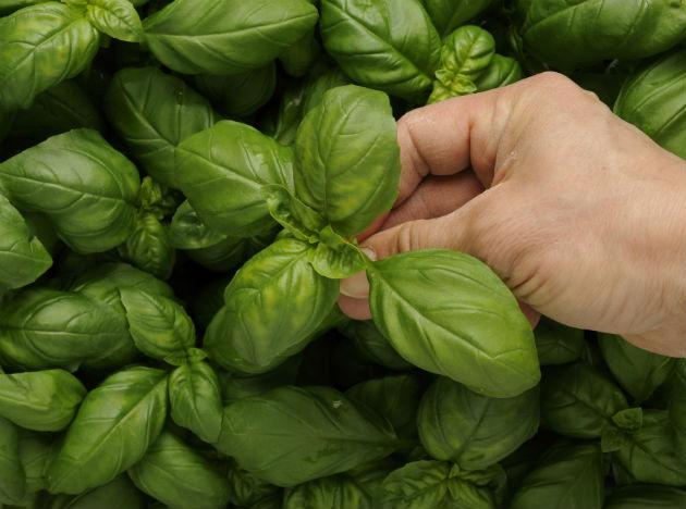 <p><strong>Basil</strong>: Basil is another excellent home remedy to cure infections of both – the stomach and the throat. Strain the juice of a few basil leaves and add it to a tablespoon of honey. It's bound to show positive results within a couple of hours.</p> <p>Do you know a great home remedy for an upset tummy? Share it with us in the comments below!</p>
