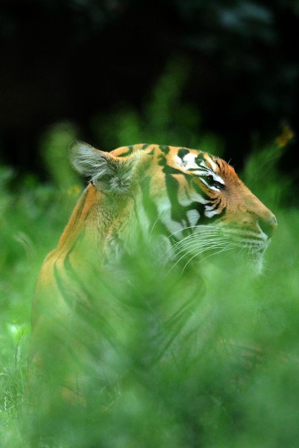 "<p><strong>Scientific classification:</strong> <em>Panthera tigris tigris</em></p><p><strong>Location: </strong>Malaysia</p><p>In a few forested areas of Malaysia and a small chunk of Thailand, between <a href=""https://www.zoo.org/tigers"" rel=""nofollow noopener"" target=""_blank"" data-ylk=""slk:250-340 Malayan tigers"" class=""link rapid-noclick-resp"">250-340 Malayan tigers </a>stalk their prey. They're a subspecies of the Indochinese tiger, which isn't doing so hot either. Poaching for meat and traditional medicine persists, and its habitat is being lost to development. </p><p>While there is a captive population of the Malayan tigers, all 54 are descended from just 11 tigers, making them too closely related to sustain a wild population. Not much is known about the behavior of the tigers. This makes conservation efforts that much harder, meaning the Malayan tiger could remain in permanent danger.</p>"