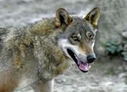 A Croatian wolf culling quota was established in 2005, but ministers then reintroduced a complete ban in 2013 to protect dwindling numbers