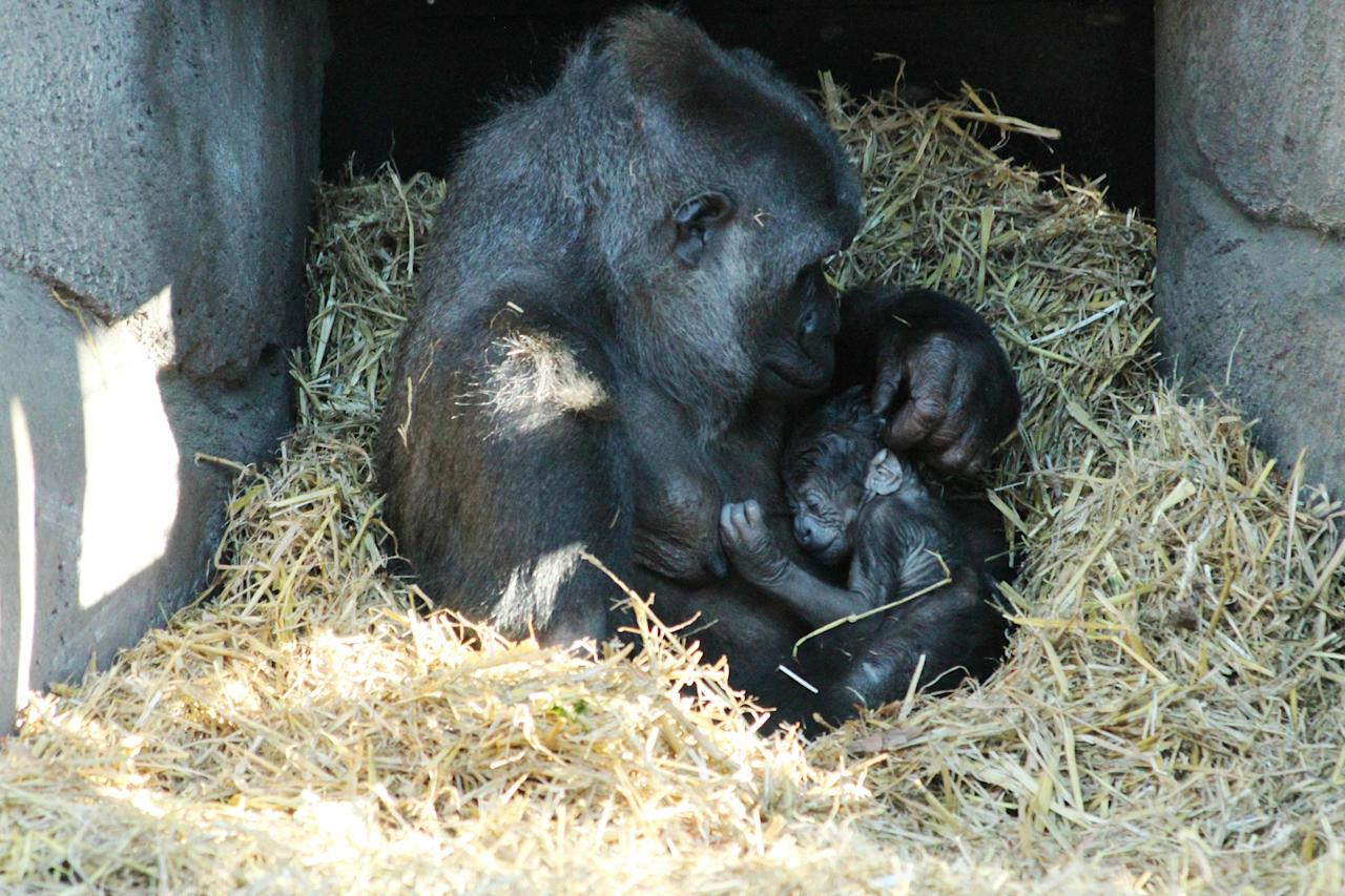 A gorilla who was taken off the Pill on Valentine's Day last year has given birth to a baby.   Mother Asili – one of the six female Western Lowland gorillas at Chessington World of Adventures Resort in Surrey – gave birth to the youngster on Thursday.