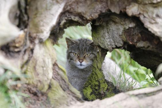 The typical British wildcat is similar in appearance to a domestic cat. Pictured is one set to be released by Gow (Bob Brind-Surch/Natures Photos)