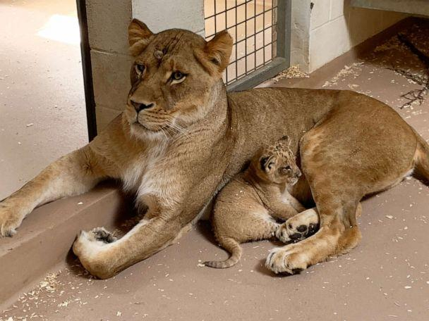 PHOTO: The Denver Zoo's newest pride member, a male lion cub, cuddles with his older sister, Kamara. Kamara and the cub, though a few years apart in age, share a mother named Neliah. (Courtesy Denver Zoo)