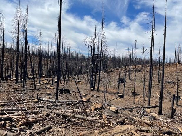 Devastation: Dead trees still standing on a mountainside ravaged by wildfire in Butte County, California (Louise Boyle/The Independent)