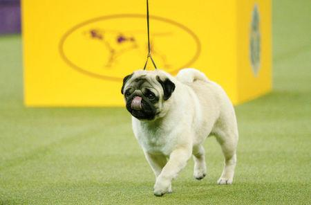 Biggie, a pug walks during judging for best in Toy Group at the 142nd Westminster Kennel Club Dog Show in New York, U.S., February 12, 2018. REUTERS/Brendan McDermid