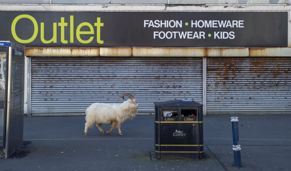 A  goat walks past a closed stored, near Trinity Square, in Llandudno, north Wales, Tuesday March 31, 2020. A group of goats have been spotted walking around the deserted streets of the seaside town during the nationwide lockdown due to the coronavirus. (Pete Byrne/PA via AP)