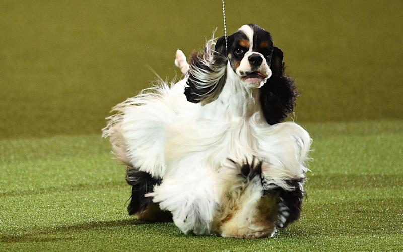 And the winner is: Afterglow Miami Ink - Crufts 2017 Best in Show (he's an American Cocker Spaniel)