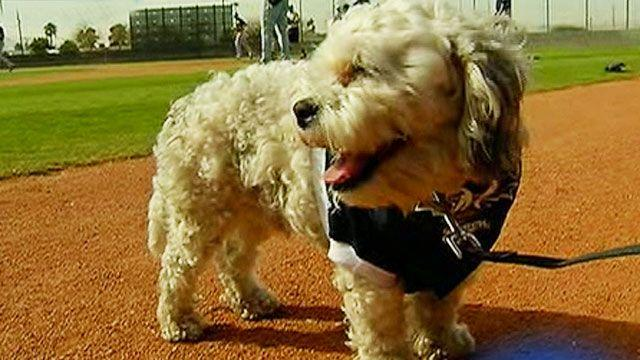 Stray dog becomes big hit at Milwaukee Brewers training camp