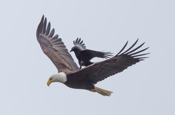 Crow takes a ride on eagle's back