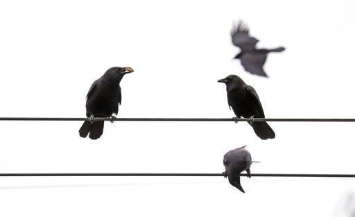 In this Thursday, March 10, 2016 photo, crows line overhead wires after following Darryl Dyer on his usual route in Seattle. For nearly every step of his almost 12-mile hike, Dyer says flocks of crows follow him, signaling each other, because they all know that he's the guy with the peanuts. Scientists for years have known that crows have great memories, that they can recognize a human face, their behavior and can pass that information onto their offspring. (AP Photo/Elaine Thompson)