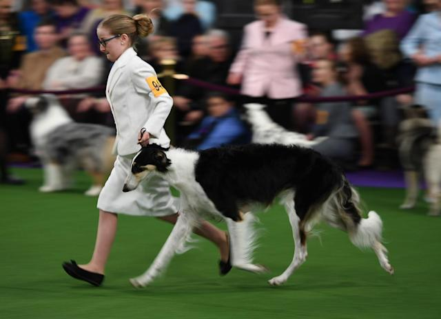 <p>Handlers in the Junior Showmanship Preliminaries in the judging area during Day One of competition at the Westminster Kennel Club 142nd Annual Dog Show in New York on Feb. 12, 2018. (Photo: Timothy A. Clary/AFP/Getty Images) </p>