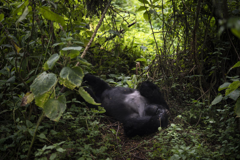 A silverback mountain gorilla named Segasira lies under a tree in Volcanoes National Park, Rwanda. (Photo: Felipe Dana/AP)