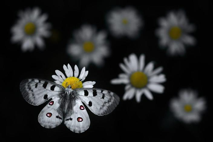 the black and white butterfly settles on the white daisy