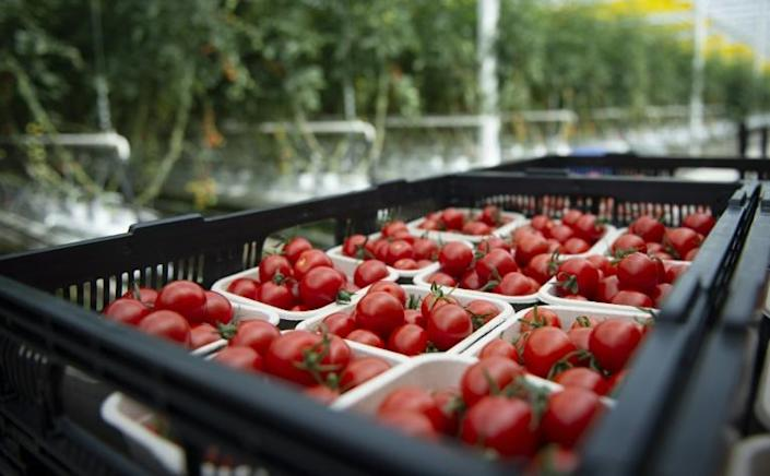 Tomatoes are viewed at Lufa Farms, a company that just opened what it says is the world's largest commercial rooftop greenhouse in Montreal