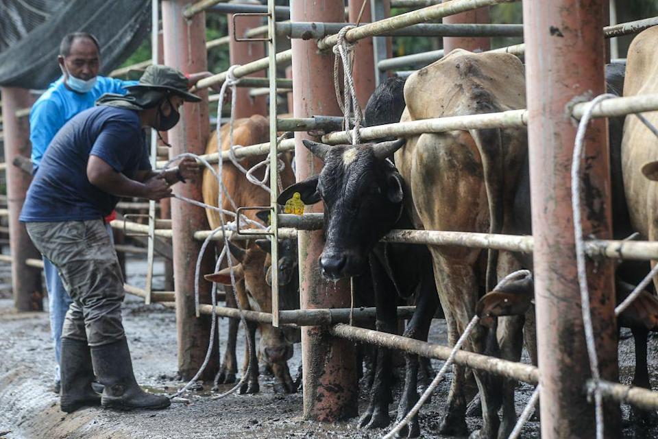 Farmers get some cows ready to be delivered to a mosque ahead of Hari Raya Aidiladha in Chemor, Ipoh July 19, 2021. — Picture by Farhan Najib