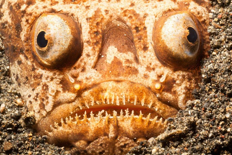 """<p>These ugly creatures like to <a href=""""https://www.atlasobscura.com/articles/watch-a-terrifying-stargazer-fish-ambush-its-prey-to-upbeat-jazz"""" rel=""""nofollow noopener"""" target=""""_blank"""" data-ylk=""""slk:bury themselves under the sand"""" class=""""link rapid-noclick-resp"""">bury themselves under the sand</a>, leaving just their eyes and fangs exposed, ready to attack any prey that passes by. Why the name? Their eyes are located on top of their head, so they're always looking up towards the stars (or their dinner.)</p>"""