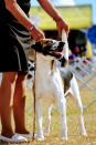In this image provided by Renee Rosamilia, Joker, a harrier, is posed during a show in Brooksville, Fla. Joker is set to compete at the upcoming Westminster Kennel Club dog show, which has undergone many changes this year because of the coronavirus pandemic. (Courtesy Renee Rosamilia via AP)