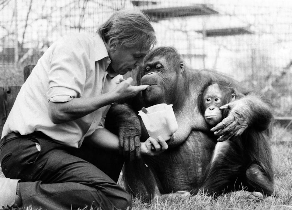 David Attenborough with an orangutan and her baby at London Zoo. April 1982. (Photo by mirror/Mirrorpix/Getty Images)