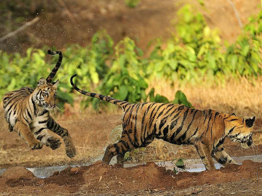 Tigers in the Tadoba forests. Six coal mines are already operational on the borders of these forests while several more have been allocated.
