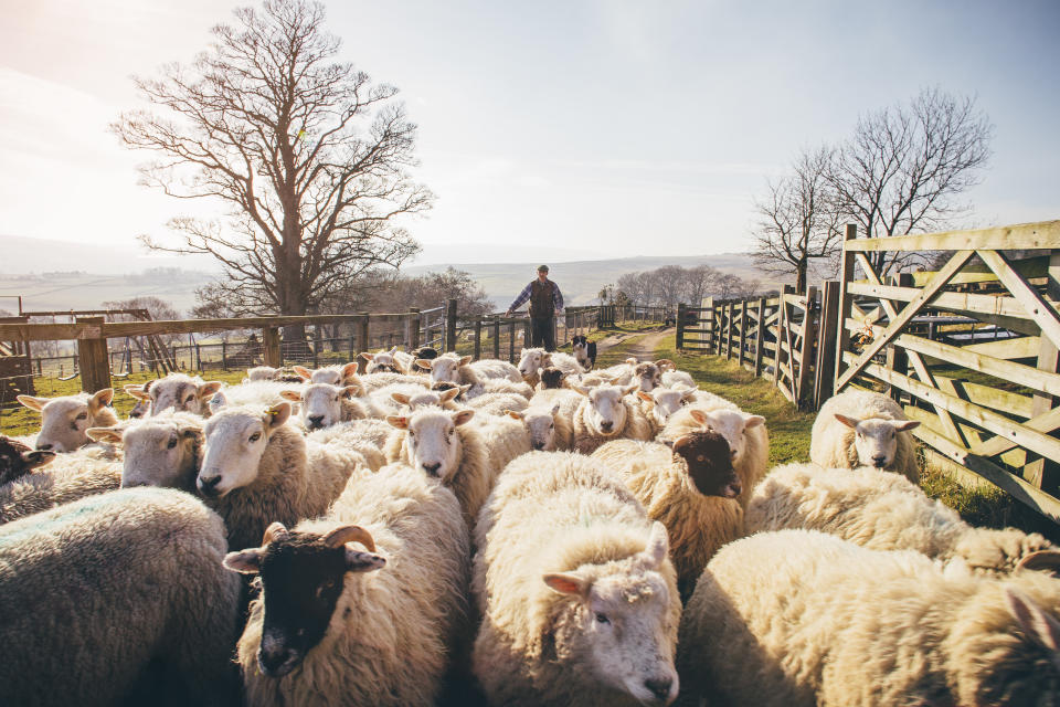 Flock of sheep being herded into a pen by a farmer and his sheepdog.