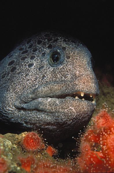 The sea urchin-eating wolf eel waits for its prey in British Columbia.