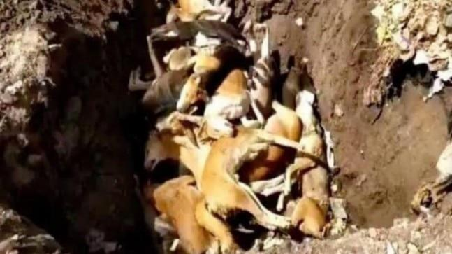 The video, reportedly recorded by an animal lover in Siddipet, shows daily wage labourers loading dead dogs on a truck. The dogs were reportedly mass culled on the orders of the municipality.