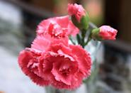"""<p>Named the official flower in <a href=""""https://statesymbolsusa.org/symbol-official-item/ohio/state-flower/red-carnation"""" rel=""""nofollow noopener"""" target=""""_blank"""" data-ylk=""""slk:1904"""" class=""""link rapid-noclick-resp"""">1904</a> to honor Ohioan President William McKinley, this beautiful blossom is the apple of the state's Buckeye.</p>"""