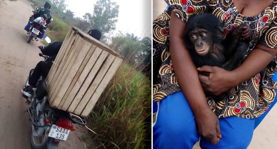 The bonobo was driven to Lodja and then taken into the arms of a surrogate mother. Source: Supplied