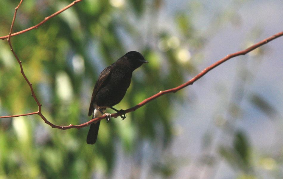 "<b>Pied Bushchat:</b> A ""pied"" bird is one that has a predominantly black-and-white coloration. The name suits only the male but the female is a dull brown."