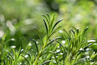 <p>Ah, another great plant to cook with. Rosemary's oil tastes delicious in homemade meals and repels mosquitoes and vegetable plant-loving insects like a boss - a win-win for both your garden and your taste buds.</p>