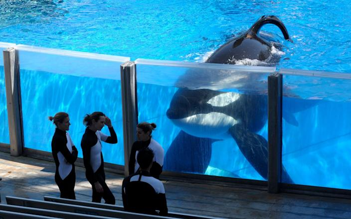 Killer whale Tilikum was involved in the death of a trainer at SeaWorld Orlando - AP