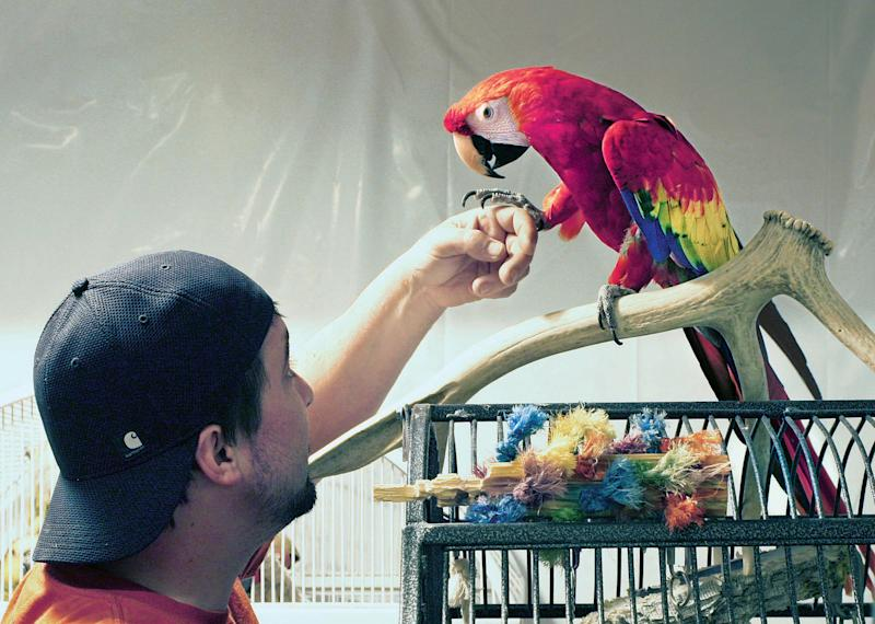 "Ryan Trevithick of Montana's Parrot & Exotic Bird Sanctuary reaches for ""Love Love"" a scarlet macaw that is being reunited with his owner Mike Taylor after 5 years, on April 19, 2013. (AP Photo/Montana Standard, Walter Hinick)"