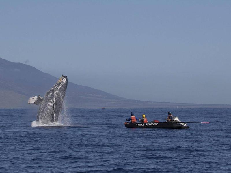 Humpback whale that was freed after being entangled breaches off Makena Beach (AP)