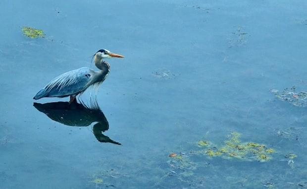 A heron stands in the Rideau Canal in April 2021, before the canal was filled for the summer. If you feel like you've seen more herons this year, you're right — and it's due to lower-than-normal levels on the local waterways. (Ian Black/CBC - image credit)