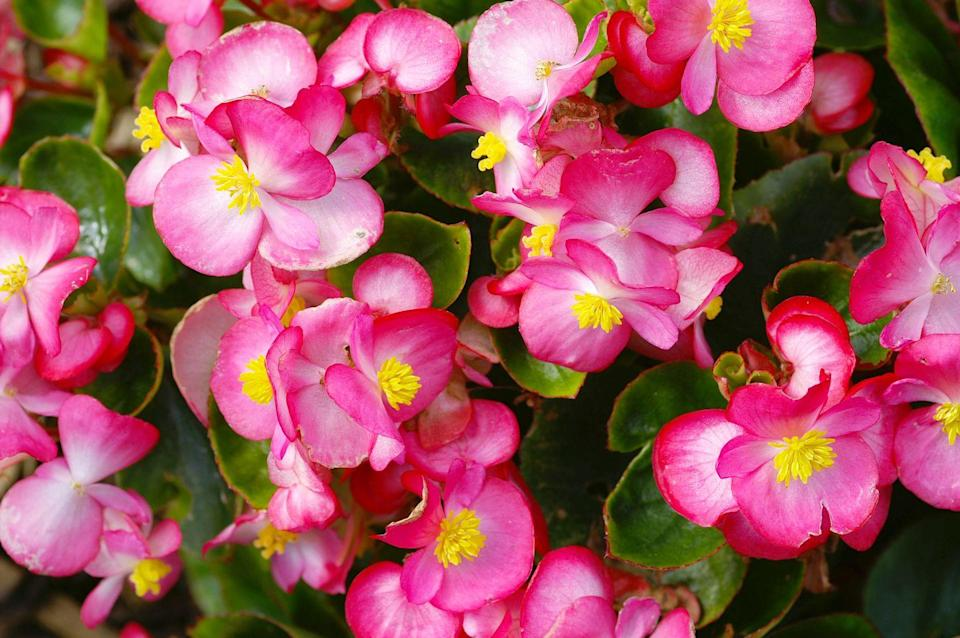 """<p>These fragrant summer flowers love morning light in particular, so plant accordingly. </p><p><a class=""""link rapid-noclick-resp"""" href=""""https://www.amazon.com/Flower-Plant-Seeds-Begonia-Tuberous/dp/B08T1JZ14D/ref=sr_1_5?dchild=1&keywords=begonia+seeds&qid=1620328315&sr=8-5&tag=syn-yahoo-20&ascsubtag=%5Bartid%7C10070.g.36355297%5Bsrc%7Cyahoo-us"""" rel=""""nofollow noopener"""" target=""""_blank"""" data-ylk=""""slk:Buy begonia seeds."""">Buy begonia seeds.</a></p>"""