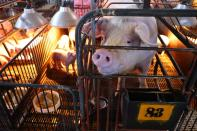 Pigs are seen on a pig farm in Pingtung