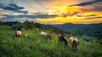 <p>Wild horses roam and dine on grass in the Appalachian Mountains of Kentucky at sunset. </p>