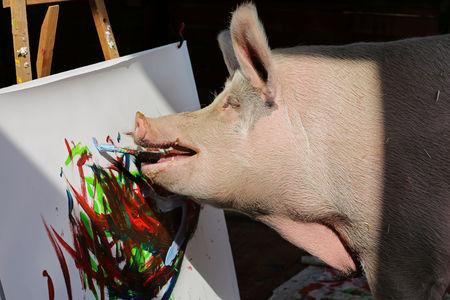 FILE PHOTO: Pigcasso, a rescued pig, paints on a canvas at the Farm Sanctuary in Franschhoek, outside Cape Town, South Africa February 21, 2019. REUTERS/Sumaya Hisham/File Photo