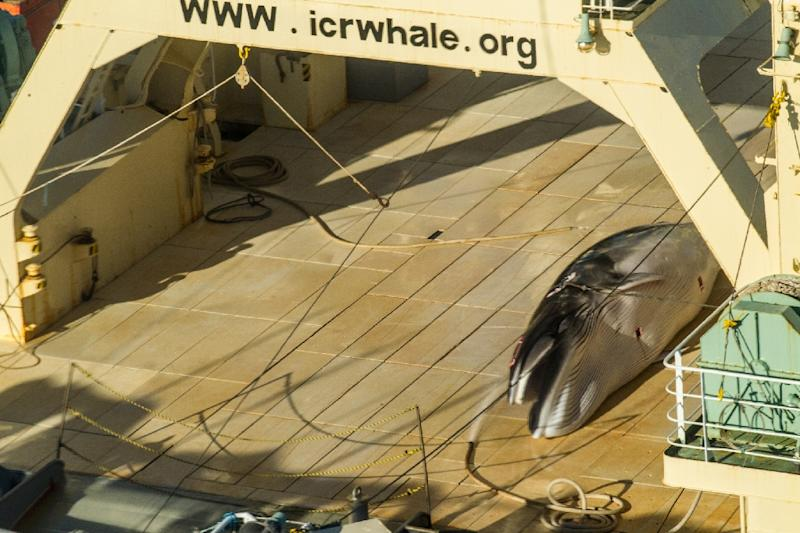 A protected minke whale is seen onboard the Nisshin Maru, part of the Japanese whaling fleet, at sea in Antarctic waters, in January 2017 (AFP Photo/Glenn LOCKITCH)