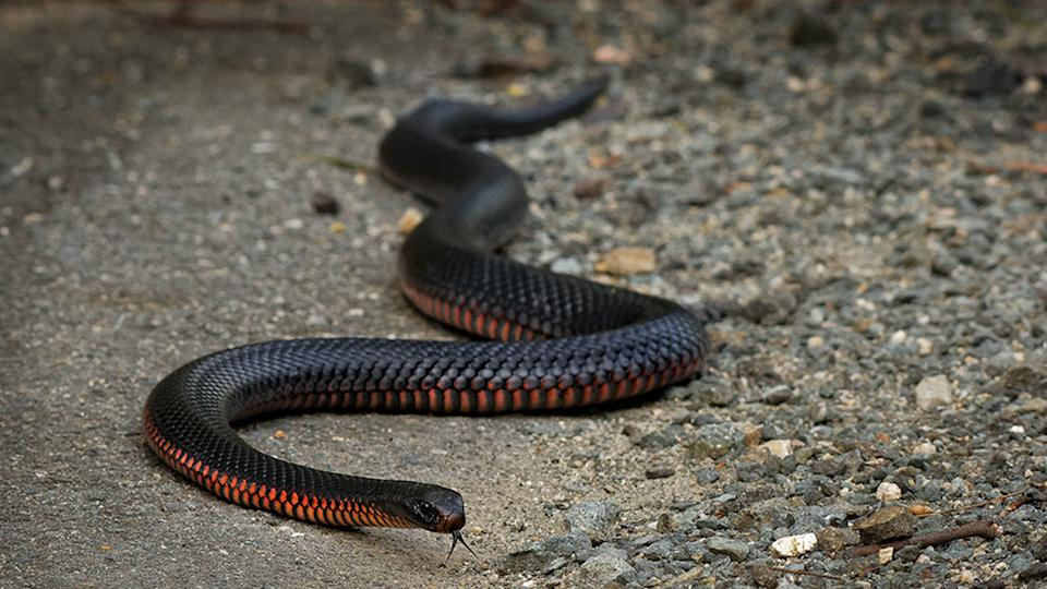 A red-bellied black snake. Source: Getty Images