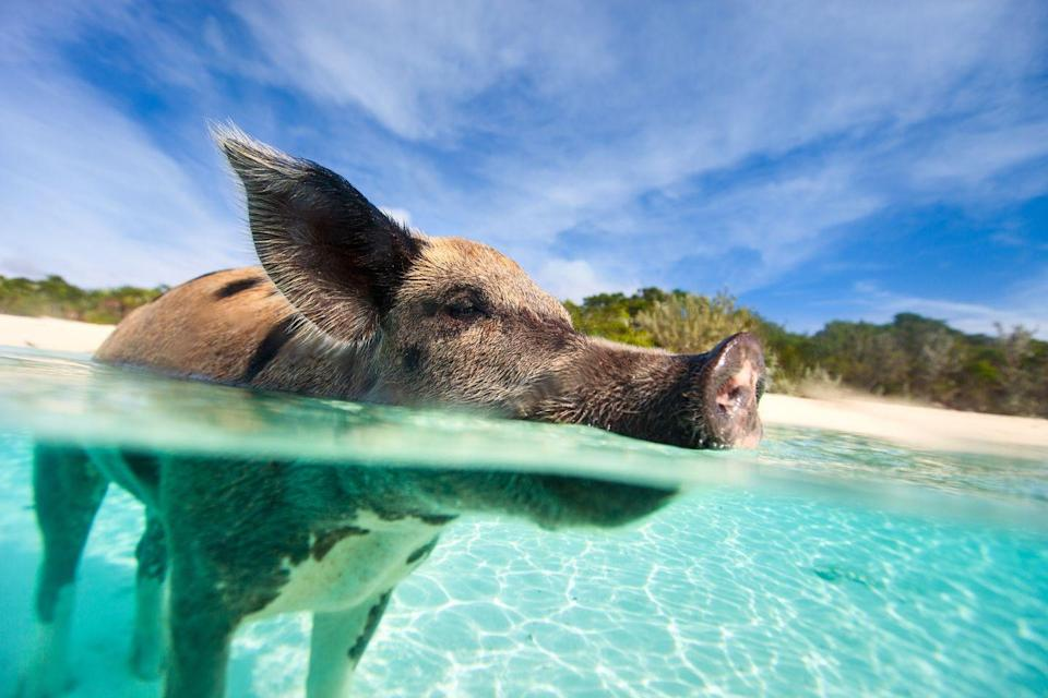 """<p>Located on the uninhabited island of Exuma (a district of the Bahamas), pigs are known for being beach bums. Select <a href=""""https://www.sandals.com/tours/"""" rel=""""nofollow noopener"""" target=""""_blank"""" data-ylk=""""slk:tours"""" class=""""link rapid-noclick-resp"""">tours</a> will allow you to get up close and personal with these swimming babes, but make sure treat them respectfully. You are on their turf after all.<br></p>"""